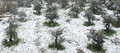 Olive trees under snowfall an tree grove in white during a snow blizzard Stock Photography