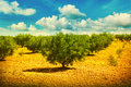 Olive trees view of a field with Royalty Free Stock Image