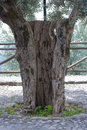 Olive trunk old of tree Stock Image