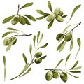 Olive vector clip art set. Bio food illustration , green plant with leaf and berry .