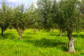 Olive woods with green grass. Greece Stock Image