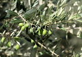 Olives on a branch Royalty Free Stock Photos