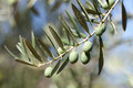Olives in the branch Stock Photography
