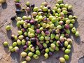 Olives discarded after infection by olive fruit fly pruned and being infected a common problem that is difficult to treat with Stock Image