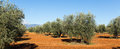 Olives plant at agricultural field Royalty Free Stock Photo