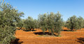 Olives plant at field in sunny day Royalty Free Stock Photo