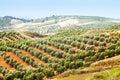 Olives plant among hills Royalty Free Stock Photo