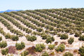 Olives plant in winter day Royalty Free Stock Photo