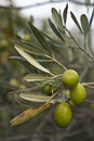 Olives sur le branchement Photographie stock