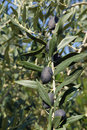 Olives on the tree black branch Stock Image