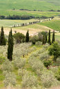 Olives in tuscany olive grove and cypress trees on the rolling hills of near montepulciano Stock Photo