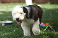 Olivia, a female Old English Sheepdog puppy Royalty Free Stock Photo
