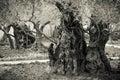 Olivos antiguos en el jardín de getsemane Foto de archivo libre de regalías