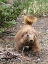 Olympic marmot approaching an in washington state Stock Photos