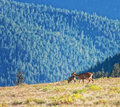Olympic national park elk park protects the largest unmanaged herd of roosvelt elkin the world is almost named Stock Images