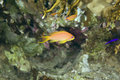 Oman anthias (pseudanthias marcia) Royalty Free Stock Images
