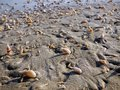 Oman, Salalah, gastropods and mollusks on the shoreline Royalty Free Stock Photo