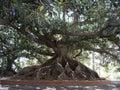 Ombu Tree Royalty Free Stock Images