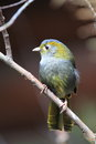 Omei shan liocichla sitting on the branch Stock Images