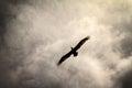 Ominous pelican the brown pelecanus occidentalis in flight in puerto rico against a dark sky Royalty Free Stock Images