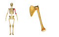 Omoplate d os et d omoplate d humérus Photos libres de droits