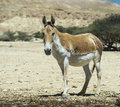 The onager equus hemionus is a brown asian wild ass in life nature reserve hai bar yotvata miles north of eilat israel Stock Image