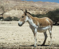 The onager equus hemionus is a brown asian wild ass was first animal to be reintroduced to desert of negev israel process of Stock Image