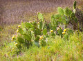 Once an important food source for the native americans a prickly pear cactus with its yellow flowers blooming grows in batiquitos Stock Photography