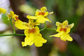 Oncidium orchid a branch of blooming yellow flower Royalty Free Stock Photos