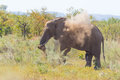 One African Elephant walking in the distance and blowing dust. Wildlife Safari in the Kruger National Park, the main travel destin Royalty Free Stock Photo