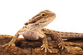 One agama on the white background bearded Royalty Free Stock Image