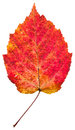 One autumn red aspen leaf Royalty Free Stock Photo