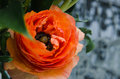 One beauty, spring orange, persian flower buttercup ranunculus macro. Rustic style, still life. Colorful holiday background. Royalty Free Stock Photo