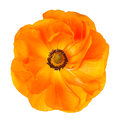One big ranunculus flower isolated on white background Royalty Free Stock Image