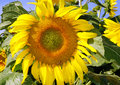 One big yellow sunflower in the bright blue sky Royalty Free Stock Photo