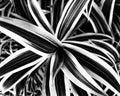 one striped plant monochromatic Royalty Free Stock Photo