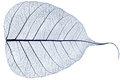 One blue transparent dried fallen leaf Royalty Free Stock Photo