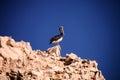 One brown pelican pelecanus occidentalis isla de ballestas peru Royalty Free Stock Photos