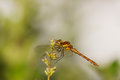 One brown and yellow dragonfly Royalty Free Stock Photo