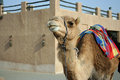 One camel in a museum of Shindagha area, Dubai, UAE Royalty Free Stock Photo