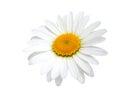 One camomile isolated on white background Royalty Free Stock Image