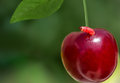 One cherry berry with a worm Royalty Free Stock Photo