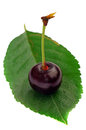 One cherry on a leaf Stock Photography