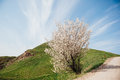 One Cherry treein the green meadow Royalty Free Stock Photo