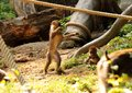 A one child of mandrill. He playing with little brother on ropes and on trunks. He is standing on two legs and with hand waving Royalty Free Stock Photo