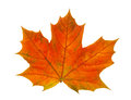 One colored maple leaf Royalty Free Stock Photo