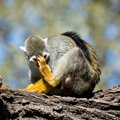 One common squirrel monkey saimiri sciureus scratching his head Royalty Free Stock Photos