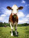 One cow beautiful at a farm Royalty Free Stock Images