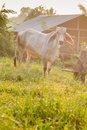 One cows graze in the meadow thailand Stock Photography