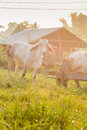 One cows graze in the meadow thailand Royalty Free Stock Image